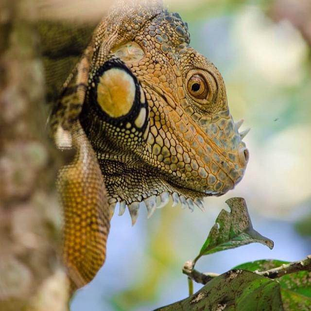iguanas in san ignacio belize - belize nature tours