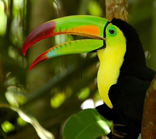 national bird of belize