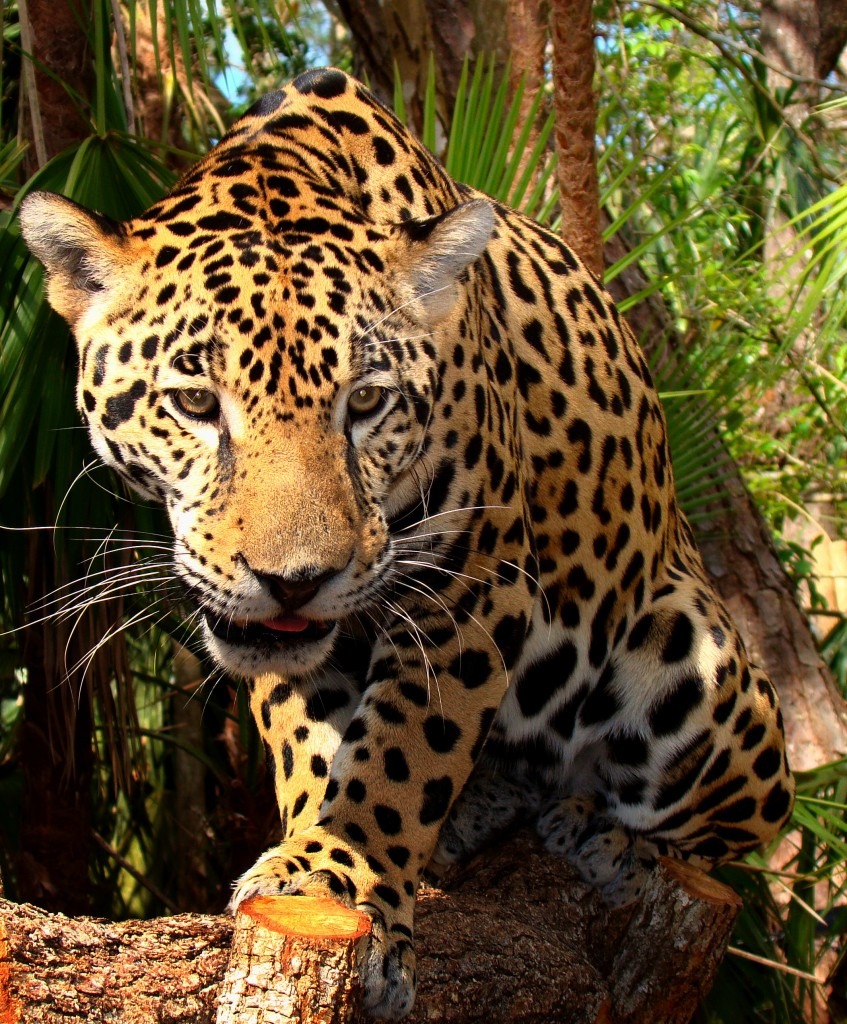 Junior-Jaguar-Belize-Zoo