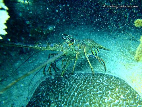 belize lobster