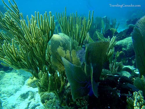 corals of belize