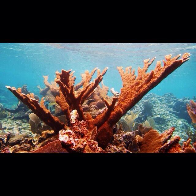 belize corals