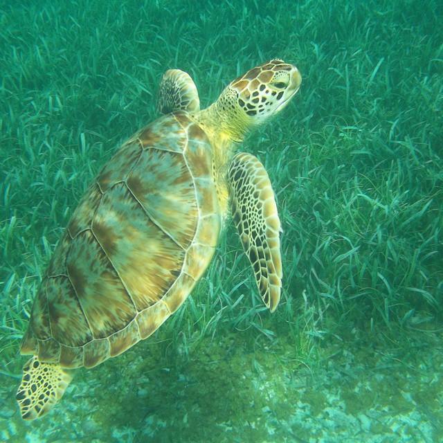 belize turtles