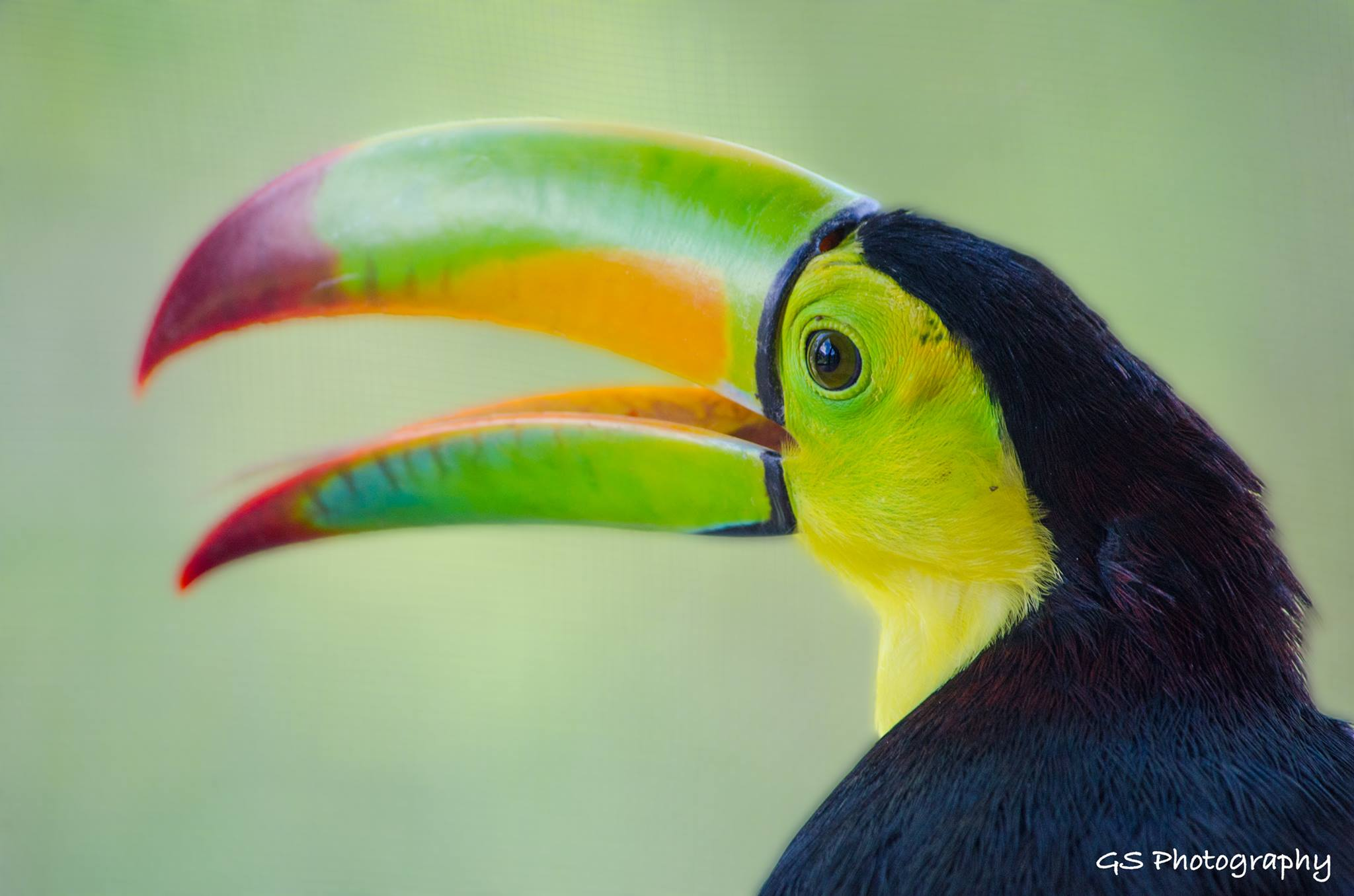 Belize's National Bird – The Keel- Billed Toucan