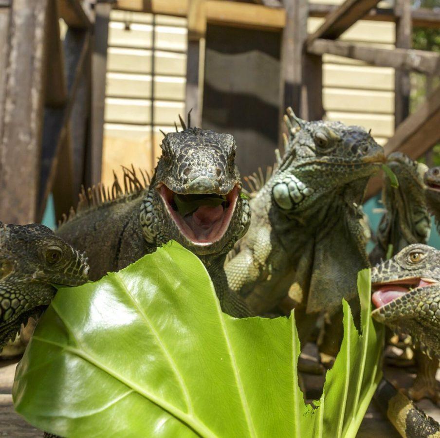 Iguana Conservation